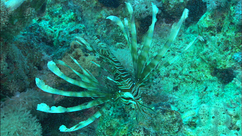 Lion fish (Pterois miles), high angle, Red Sea, Egypt, Africa