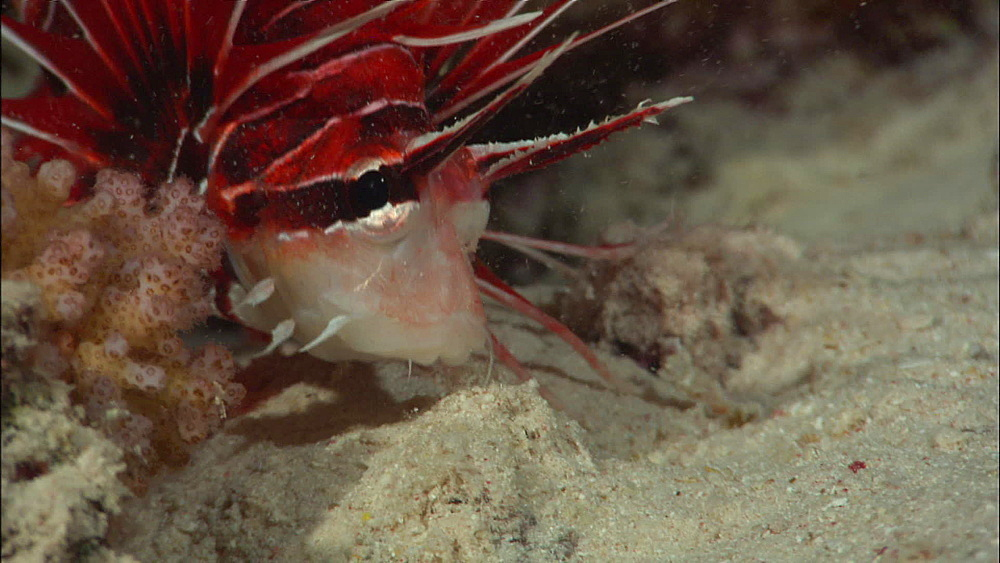 Clearfin Lionfish (Pterois Radiata) spar, eat small fish, Red Sea, Egypt, Africa