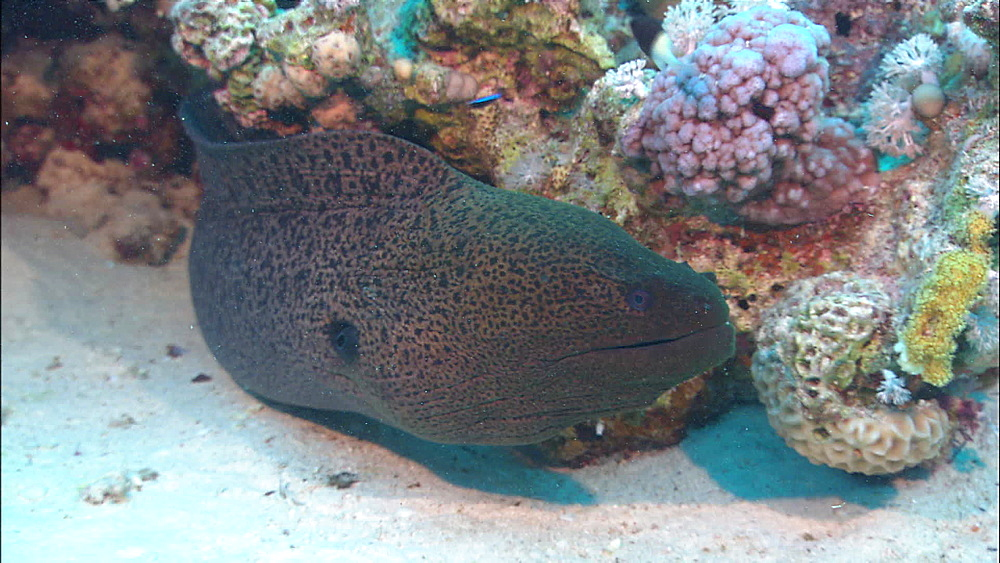 Giant Moray eel (Gymnothorax javanicus) head on view, Red Sea, Egypt, Africa
