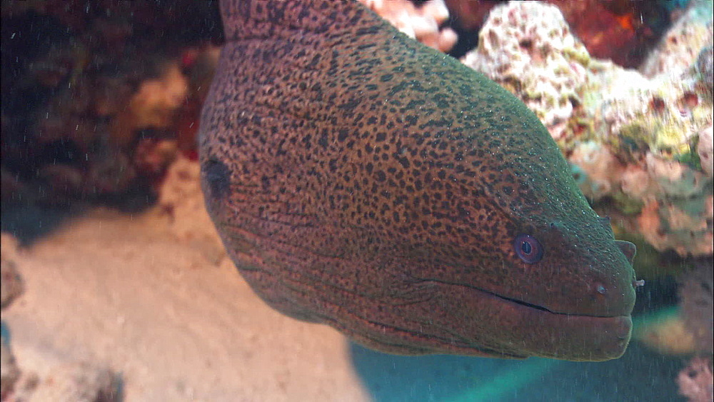 Giant Moray eel (Gymnothorax javanicus), Red Sea, Egypt, Africa - 1010-3563