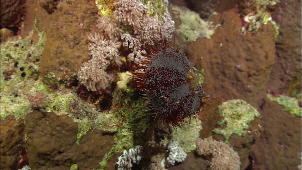 Sea urchin, Red Sea, Egypt, Africa