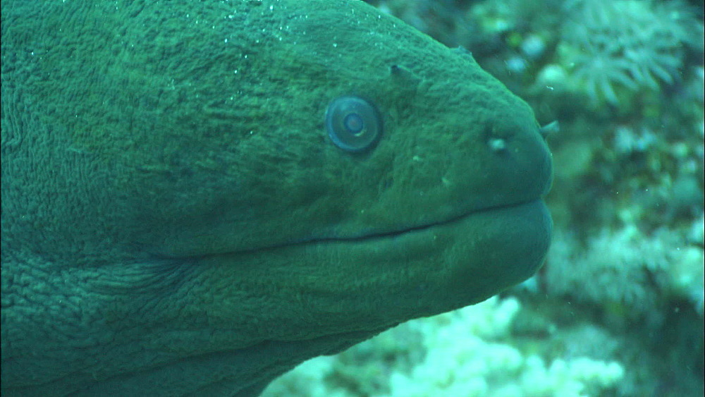 Moray eels, two in hole, head, reef, zoom, Saudi Arabia, Middle East