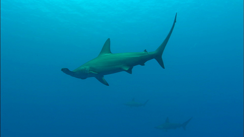 Scalloped hammerhead shark (Sphyrna lewini), shoal, swimming right to left, Saudi Arabia, Middle East