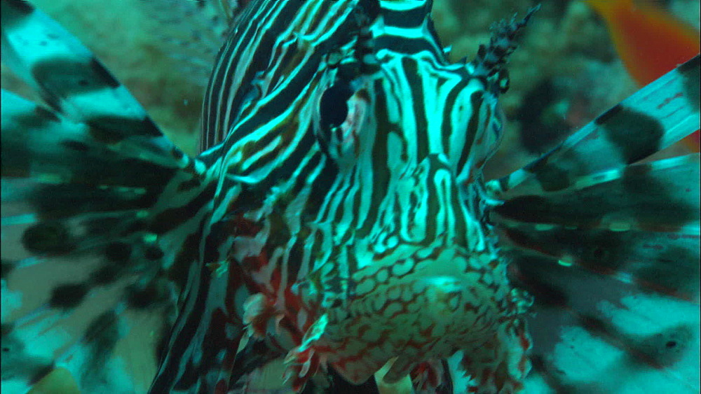 Lion fish (Pterois miles), head on, Saudi Arabia, Middle East