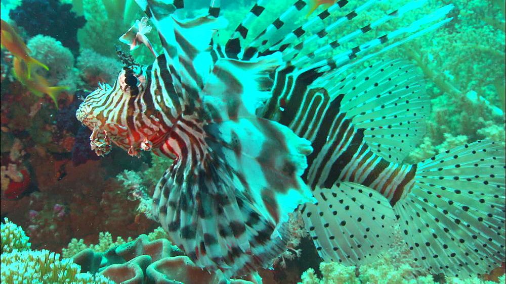 Lion fish (Pterois miles), Saudi Arabia, Middle East