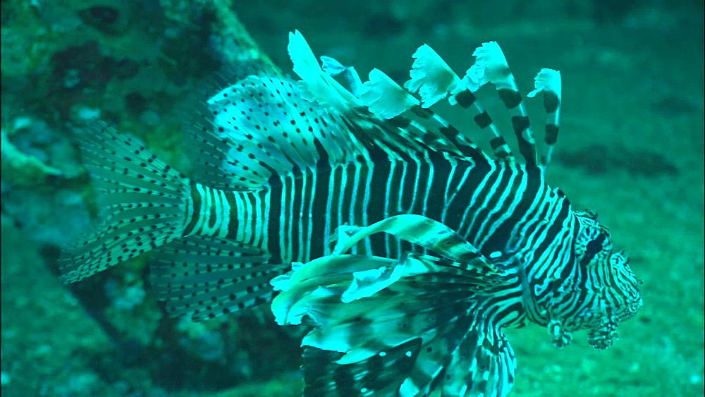 Lionfish, wreck, Saudi Arabia, Middle East