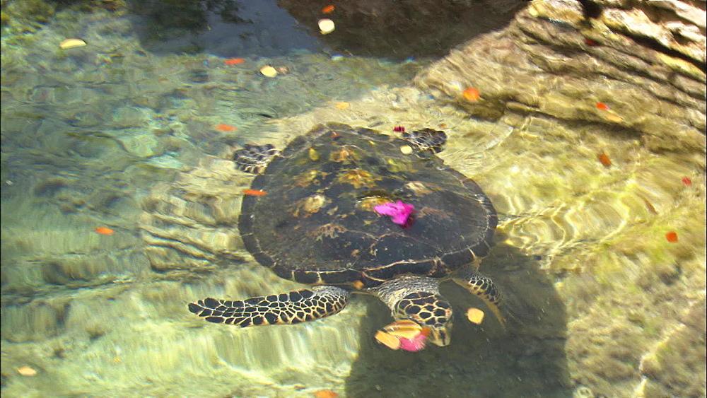 Hawksbill Turtle (Eretmochelys imbricata), shallows, Saudi Arabia, Middle East