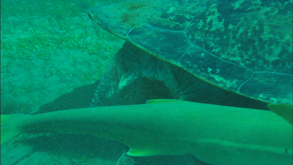 Green turtle, remora, feed on eel grass, United Arab Emirates, Middle East