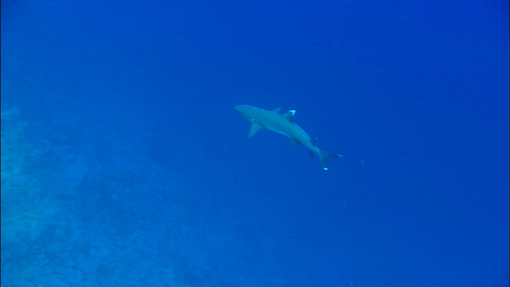 Whitetip reef shark (Triaenodon obesus), over reef, Red Sea, Egypt, Africa