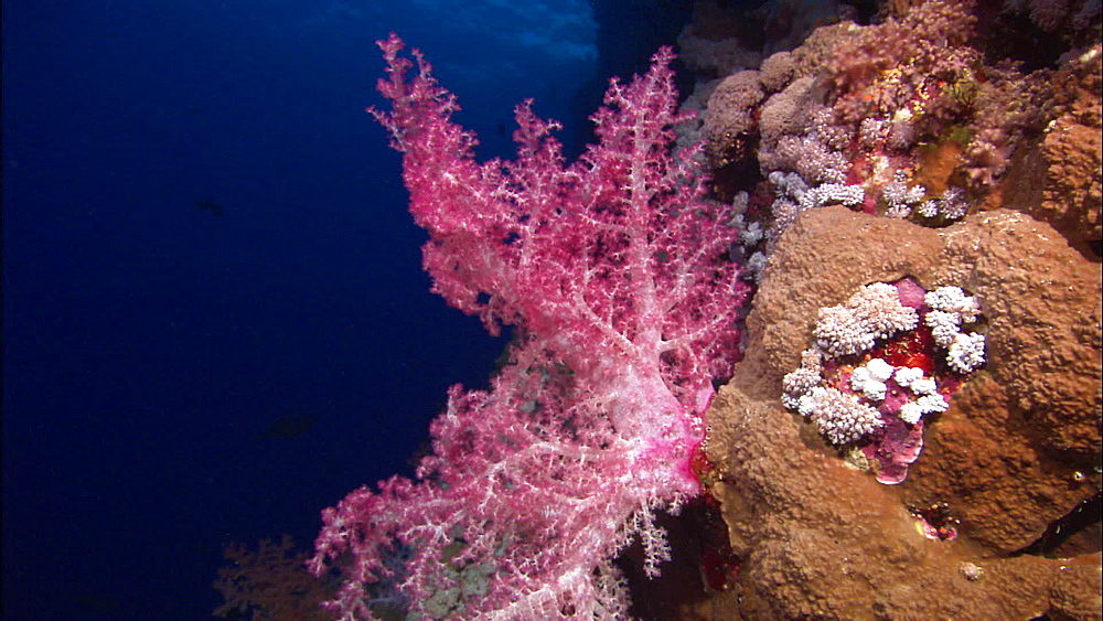 Soft coral, Red Sea, Egypt, Africa