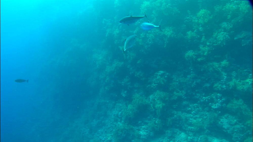 Tuna, reef, swim in circle, Red Sea, Egypt, Africa