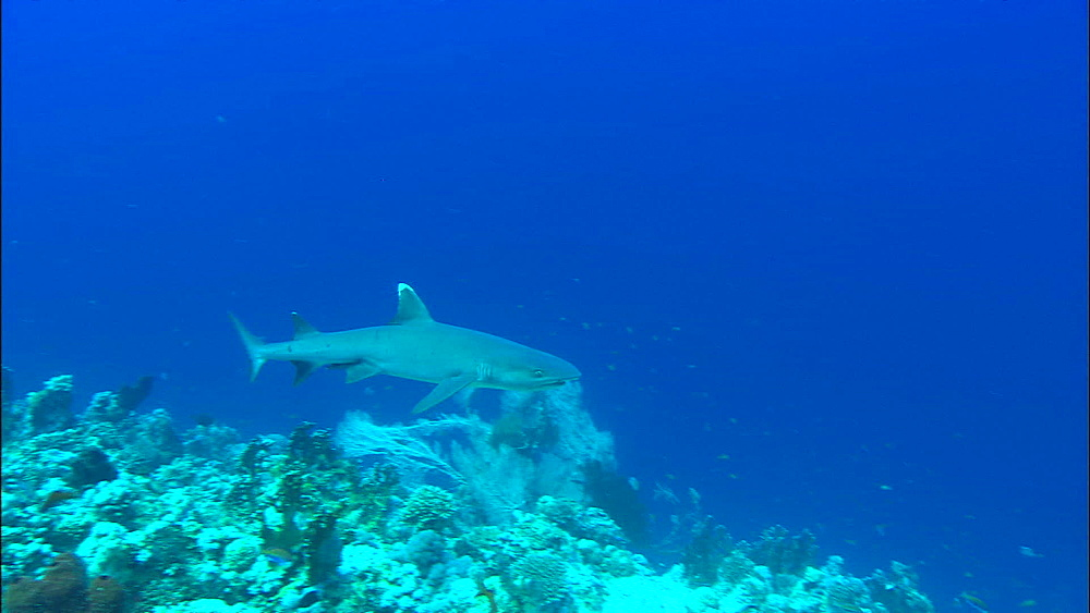 Whitetip reef shark, above Reef, Red Sea, Egypt, Africa