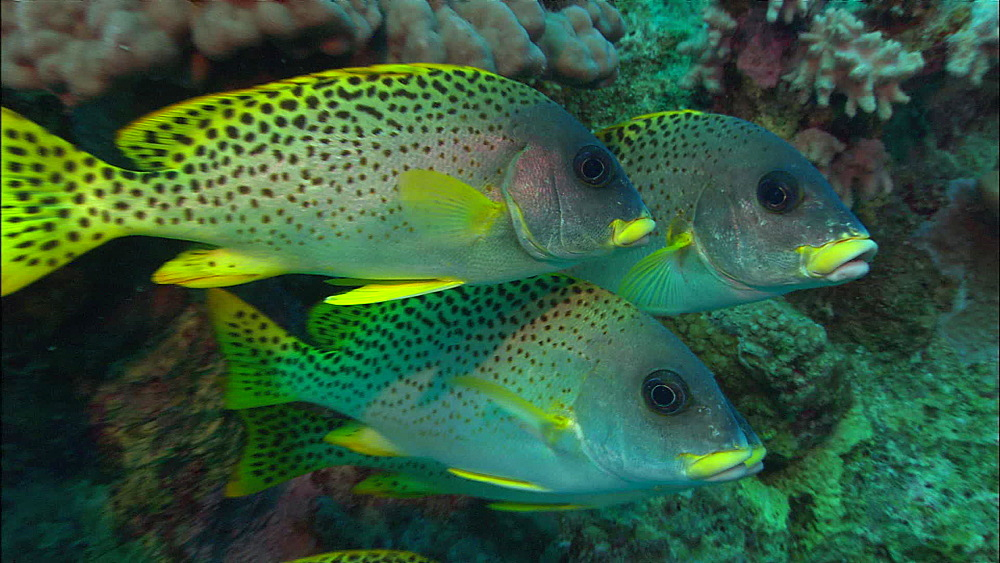 Blackspotted Sweetlips (plectorhinchus gaterinus, Red Sea, Egypt, Africa - 1010-3605