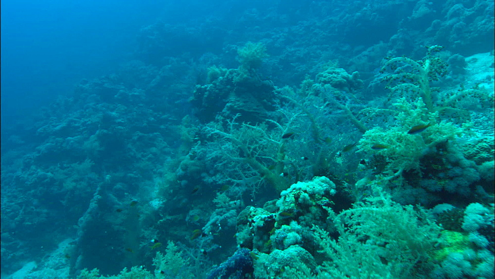 Reef, soft coral and hard coral, chromis, track, Red Sea, Egypt, Africa