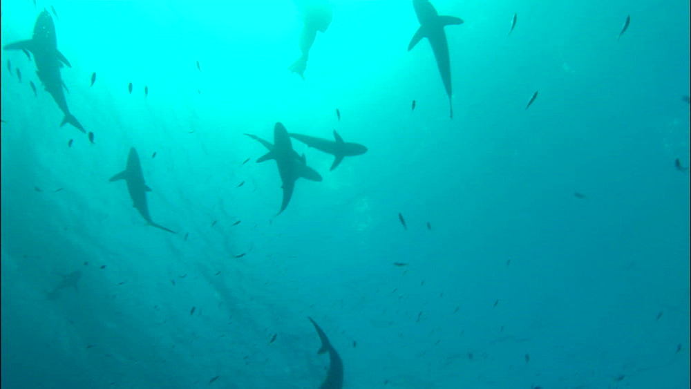 Silkie sharks, surface, overhead, Saudi Arabia, Middle East - 1010-3611