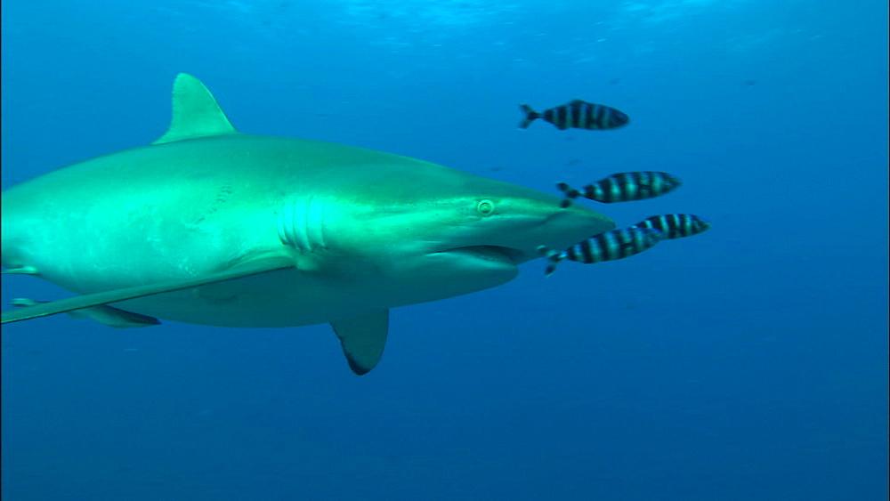 Silkie shark mid-water, over reef, Saudi Arabia, Middle East