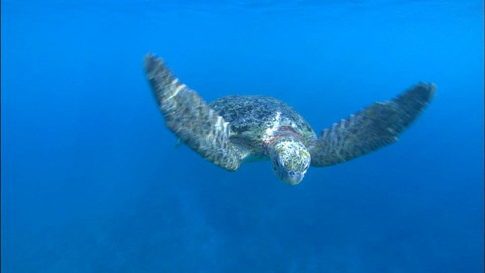 Green turtle (Chelonia Midas) swims to camera, Europa Island and Bassas Da India, Indian Ocean, Africa