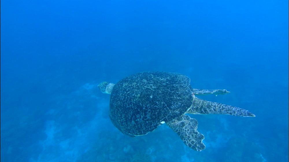 Green turtle (Chelonia Midas) swims below, Europa Island and Bassas Da India, Indian Ocean, Africa