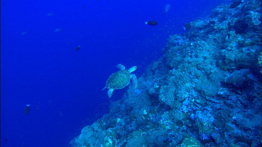 Green turtle (Chelonia Midas) over rocky reef, Europa Island and Bassas Da India, Indian Ocean, Africa