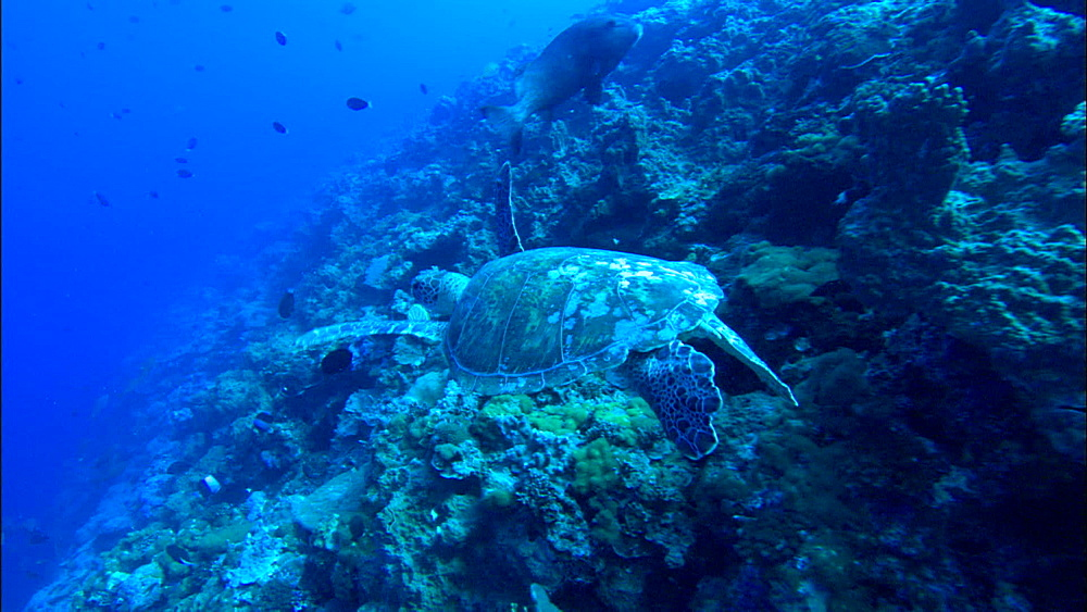 Green turtle (Chelonia Midas) rests beside rocky reef, Europa Island and Bassas Da India, Indian Ocean, Africa