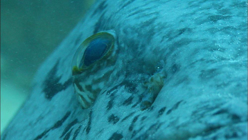 Potato grouper (Epinephelus tukula) on bottom, Europa Island and Bassas Da India, Indian Ocean, Africa - 1010-3627