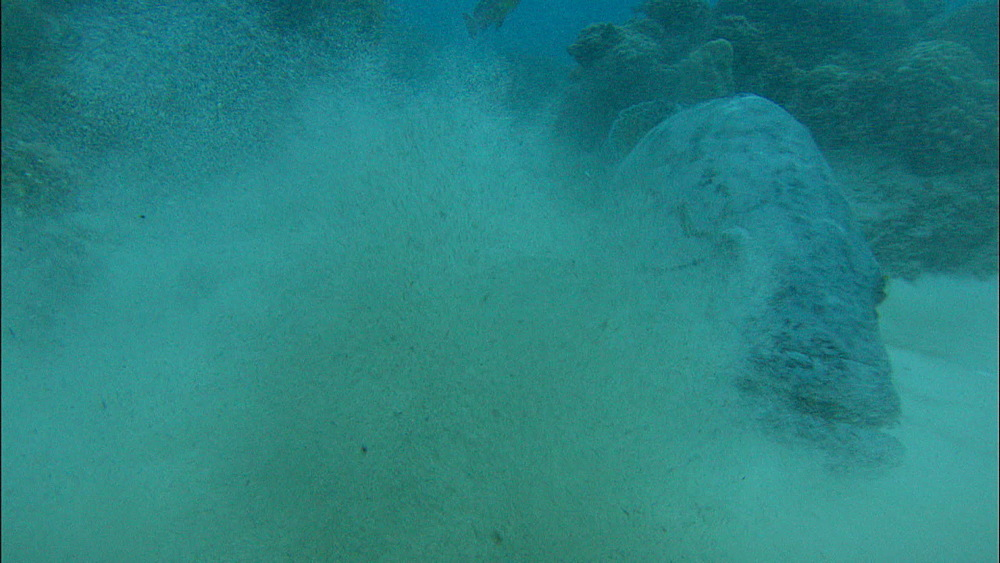 Potato grouper (Epinephelus tukula), Europa Island and Bassas Da India, Indian Ocean, Africa
