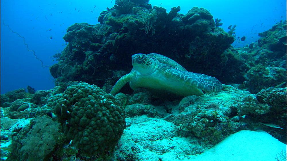 Green turtle (Chelonia Midas) rests under rock, Europa Island and Bassas Da India, Indian Ocean, Africa