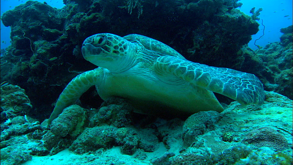 Green turtle (Chelonia Midas) rests under rock, low angle, Europa Island and Bassas Da India, Indian Ocean, Africa