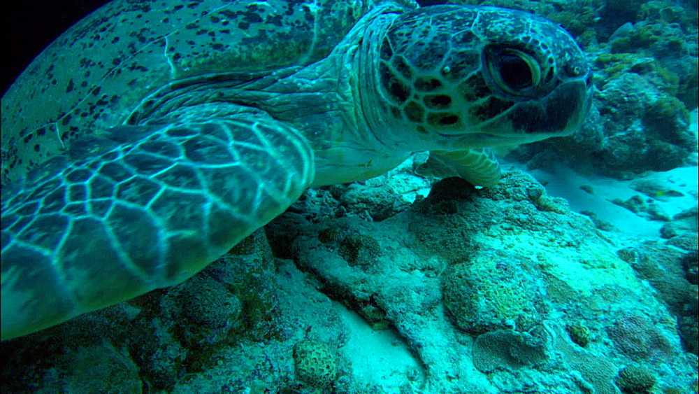 Green turtle (Chelonia Midas) rests under rock, moves off, Europa Island and Bassas Da India, Indian Ocean, Africa