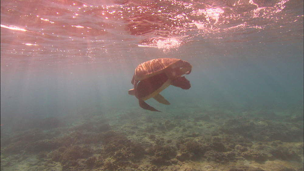 Green turtle (Chelonia Midas) mating pair, Europa Island and Bassas Da India, Indian Ocean, Africa