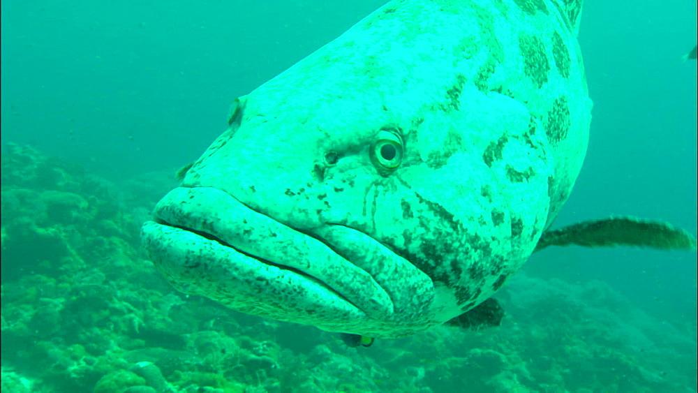 Potato grouper (Epinephelus tukula), cleaner wrasse, Europa Island and Bassas Da India, Indian Ocean, Africa - 1010-3641