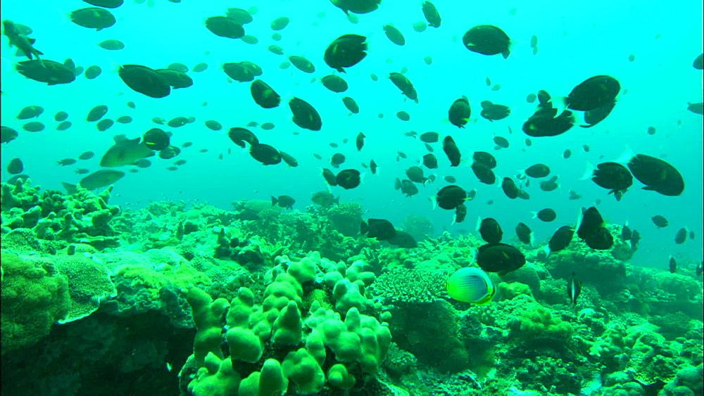 Coral reef, Thompson's surgeonfish (Acanthurus thompsoni) shoals, track, Europa Island and Bassas Da India, Indian Ocean, Africa