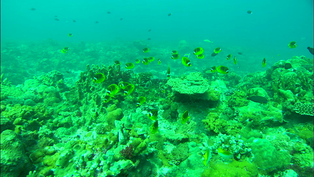 Coral reef, Racoon butterflyfish (Chaetodon lunula) shoal, track, Europa Island and Bassas Da India, Indian Ocean, Africa