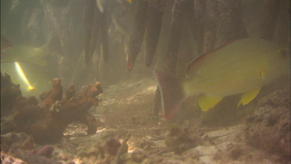 Black-spot snapper (Lutjanus fulviflamma), flame-tail snapper (Lutjanus fulvus) in mangrove roots, Europa Island and Bassas Da India, Indian Ocean, Africa - 1010-3653