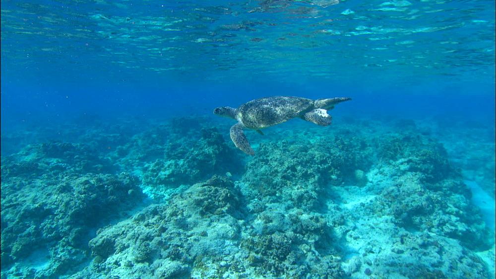 Green turtle (Chelonia Midas) to camera, Europa Island and Bassas Da India, Indian Ocean, Africa