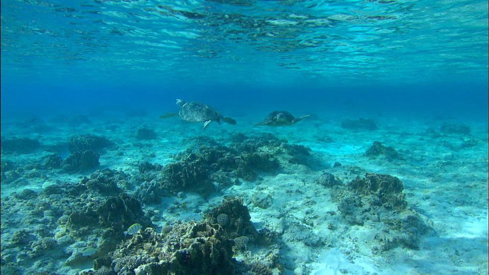 Green turtle (Chelonia Midas) floating, resting, Europa Island and Bassas Da India, Indian Ocean, Africa