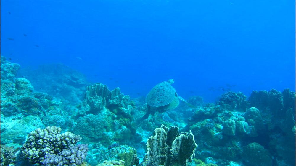 Green turtles (Chelonia Midas) swim near sea floor, Europa Island and Bassas Da India, Indian Ocean, Africa