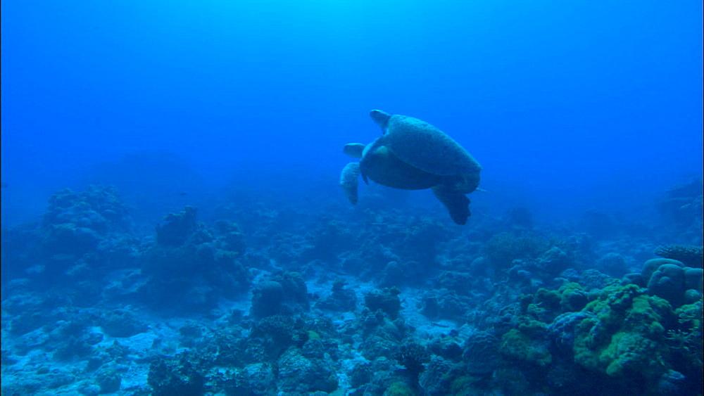 Green turtles (Chelonia Midas) swim near seafloor, Europa Island and Bassas Da India, Indian Ocean, Africa
