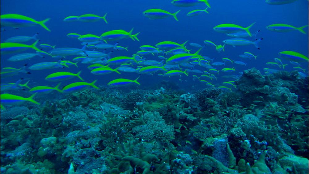 Yellowtop fusiliers (Caesio xanthonota), track over reef, Europa Island and Bassas Da India, Indian Ocean, Africa
