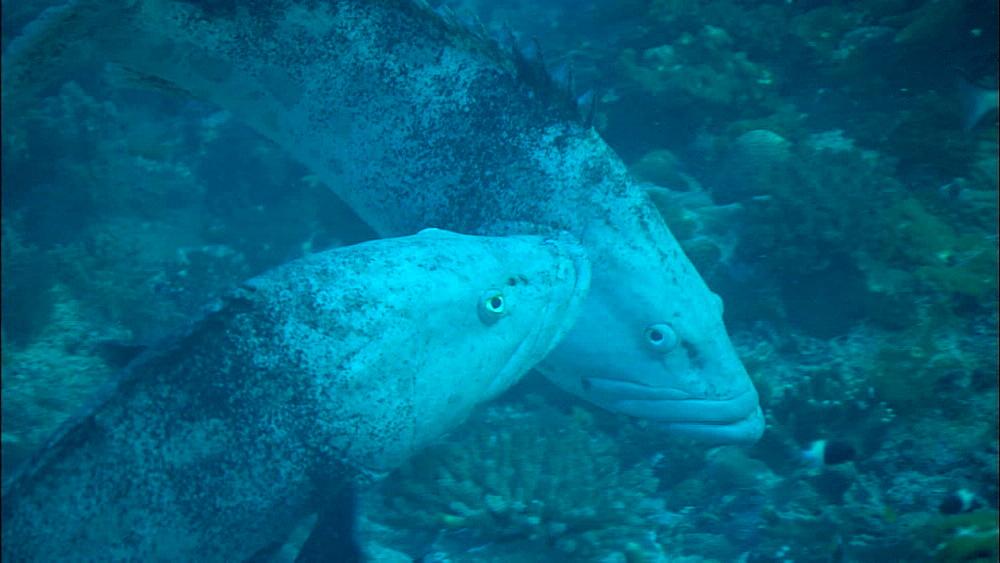 Potato grouper (Epinephelus tukula), groupers, display, yellowtop fusiliers (Caesio xanthonota), Europa Island and Bassas Da India, Indian Ocean, Africa