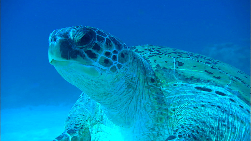 Green turtle (Chelonia Midas) mating on seabed, track round, low angle, Europa Island and Bassas Da India, Indian Ocean, Africa