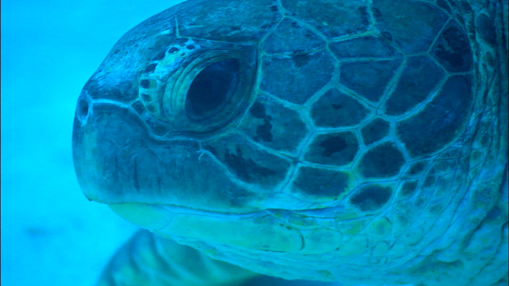 Eye of Green turtle (Chelonia Midas) mating on seabed, Europa Island and Bassas Da India, Indian Ocean, Africa