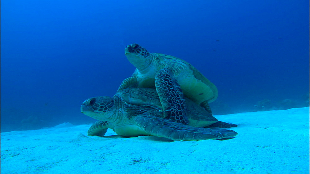 Green turtles (Chelonia Midas) mating on seabed, low angle, Europa Island and Bassas Da India, Indian Ocean, Africa