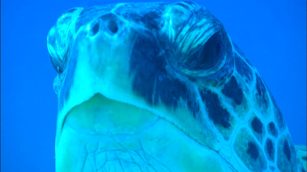 Green turtle (Chelonia Midas) mating on seabed, zoom, Europa Island and Bassas Da India, Indian Ocean, Africa