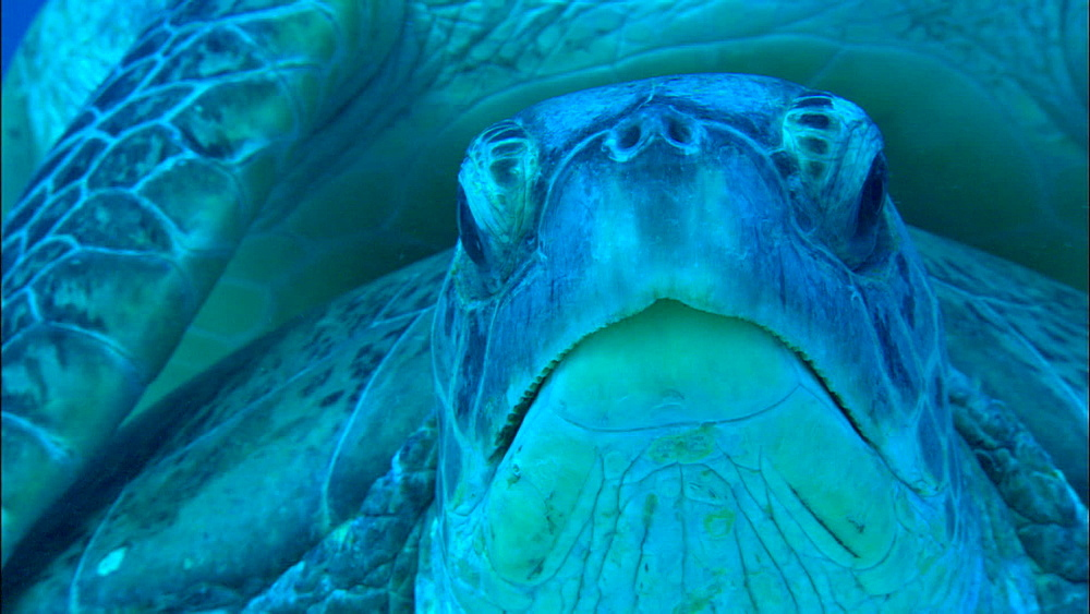 Green turtle (Chelonia Midas) mating on seabed, Europa Island and Bassas Da India, Indian Ocean, Africa