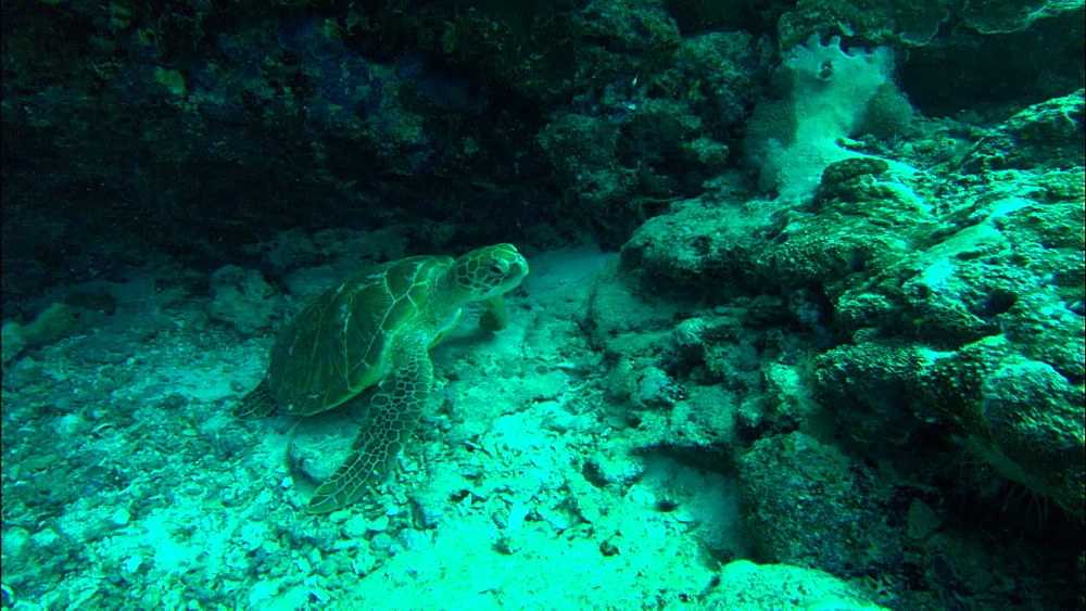 Green turtle (Chelonia Midas) under ledge, moves off, Europa Island and Bassas Da India, Indian Ocean, Africa - 1010-3694