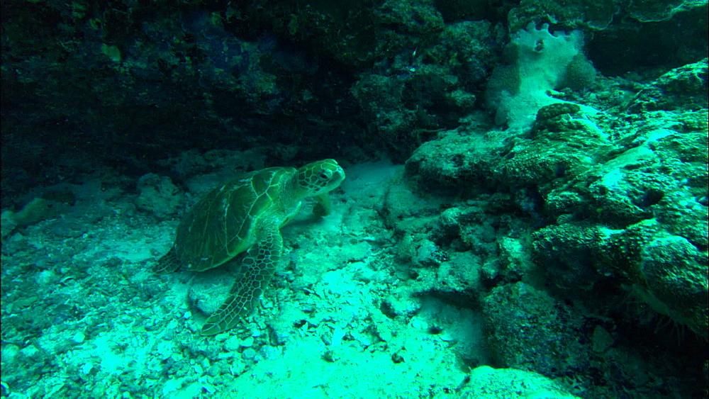 Green turtle (Chelonia Midas) under ledge, moves off, Europa Island and Bassas Da India, Indian Ocean, Africa