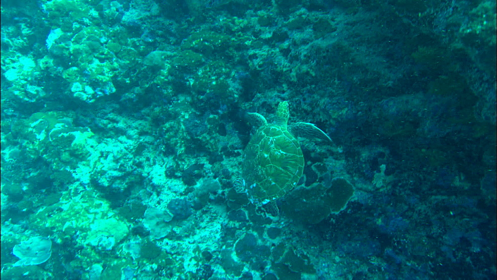 Green turtle (Chelonia Midas) swims by reef wall and away, Europa Island and Bassas Da India, Indian Ocean, Africa