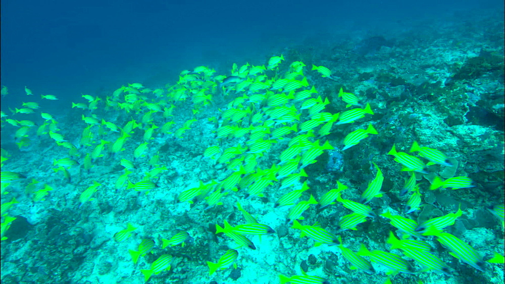 Bluelined snapper (Lutjanus kasmira), large shoal near seabed, Europa Island and Bassas Da India, Indian Ocean, Africa