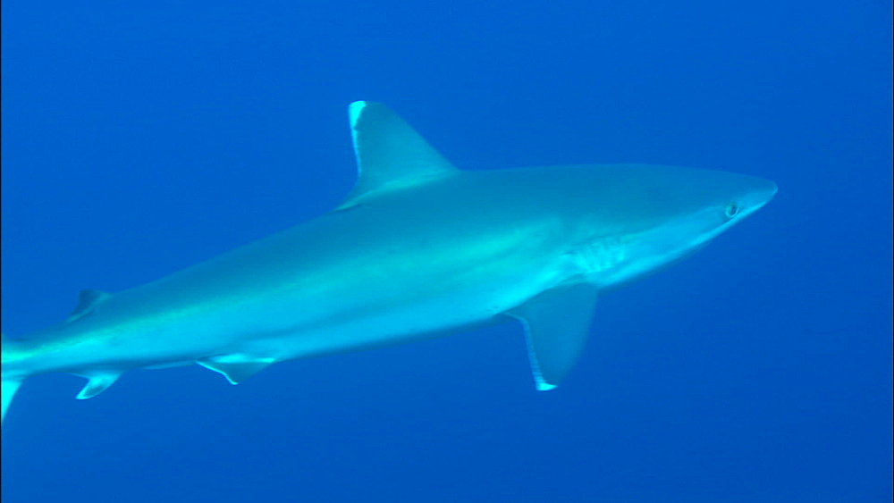 Silvertip shark (Carcharhinus albimarginatus) swims mid ocean, above reef, Europa Island and Bassas Da India, Indian Ocean, Africa - 1010-3699